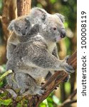 Stock photo australian koala bear with her baby or joey in eucalyptus or gum tree sydney new south wales 100008119