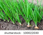 Onion Plantation In The...