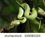 Постер, плакат: Green snake in rain