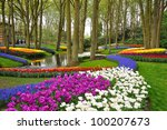 Colorful Blooming Tulips In...