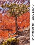 Pinyon Pine Tree Bryce Canyon...