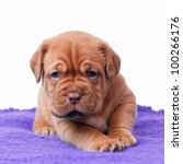 Newborn Mastiff Puppy On A...