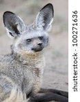 portrait of a bat eared fox. | Shutterstock . vector #100271636