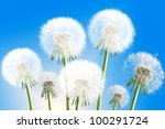 Group Of Seven Fluffy Dandelio...