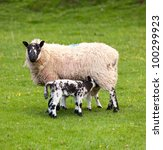Two Welsh Lambs With Black And...