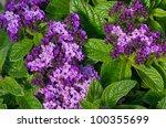 A Group Of Purple Heliotrope...