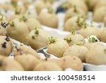 Six Potatoes  Swift  Chitting...