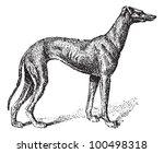 Greyhound  Showing Male Dog ...