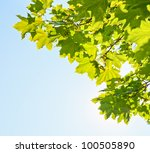 Green Leaves On Maple Tree...
