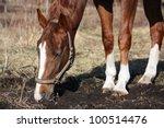 chestnut horse digging ground...   Shutterstock . vector #100514476