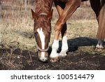 chestnut horse digging ground... | Shutterstock . vector #100514479