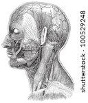 human head anatomy   vein... | Shutterstock .eps vector #100529248
