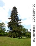 Small photo of Ample coniferous tree