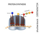 protein synthesis. ribosome... | Shutterstock .eps vector #1005606724