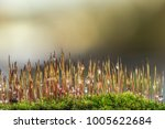 a macro of mosses wetted with... | Shutterstock . vector #1005622684