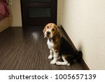 beagle dog looking at camera in ... | Shutterstock . vector #1005657139