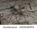 brown recluse   loxosceles... | Shutterstock . vector #1005658993