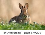 Wild Rabbit While Eating A...