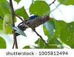 violet cuckoo juvenile   Shutterstock . vector #1005812494