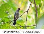 violet cuckoo juvenile   Shutterstock . vector #1005812500