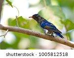 violet cuckoo juvenile   Shutterstock . vector #1005812518