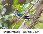violet cuckoo juvenile   Shutterstock . vector #1005812524
