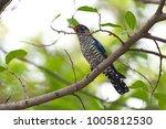 violet cuckoo juvenile   Shutterstock . vector #1005812530