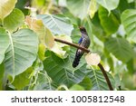 violet cuckoo juvenile   Shutterstock . vector #1005812548