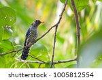 violet cuckoo juvenile   Shutterstock . vector #1005812554