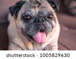 Stock photo cute pug dog 1005829630