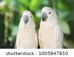 Couple Lover White Parrot ...