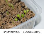 Small photo of Closeup of cacti seedlings, astrophytum asterias Hanazono growing from seeds