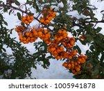 Pyracantha Berry Shrub In Winter