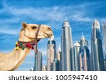 dubai camel on skyscrapers... | Shutterstock . vector #1005947410