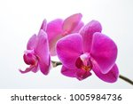 pink orchid on twig | Shutterstock . vector #1005984736
