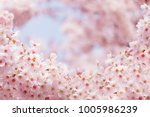pink sakura flower bloom in... | Shutterstock . vector #1005986239
