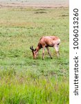 Small photo of African antelope - the hartebeest (Alcelaphus buselaphus), also known as kongoni in Serengeti National Park, Tanzanian national park in the Serengeti ecosystem in the Mara and Simiyu regions