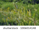 Small photo of wild wheatgrass agropyron on the summer field