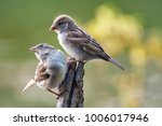 two house sparrow  passer... | Shutterstock . vector #1006017946