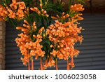 pyrostegia venusta cape honey... | Shutterstock . vector #1006023058