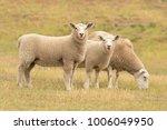 Cute Sheep On Glass Field  Far...
