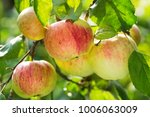 Fresh Ripe Apples On A Tree In...