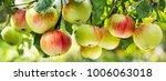 fresh ripe apples on a tree in... | Shutterstock . vector #1006063018