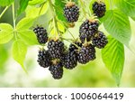 Close Up Of Ripe Blackberry In...