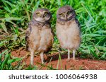 burrowing owl brothers | Shutterstock . vector #1006064938