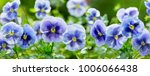 close up of pansy flower... | Shutterstock . vector #1006066438