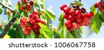 close up of branch of ripe... | Shutterstock . vector #1006067758
