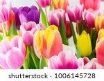 Tulip. Spring Flowers...