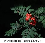 rowan berries from the garden | Shutterstock . vector #1006157539