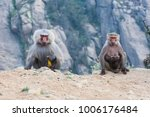 baboons in the mountains of... | Shutterstock . vector #1006176484